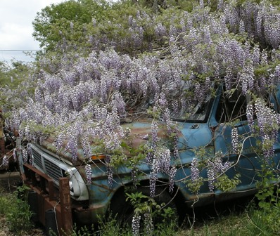Wisteria covering old car